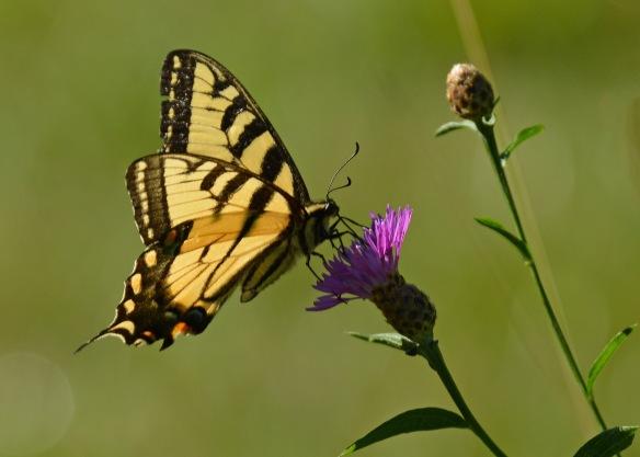 TigerSwallowtail19July18#6980E3c5x7