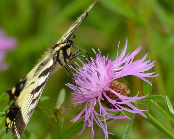TigerSwallowtail1Aug18#7448E2c8x10