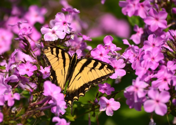 TigerSwallowtailPhlox16Aug18#8130E3c5x7